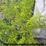 Piaba Herb Image
