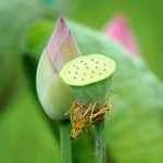Sacred Lotus Photo